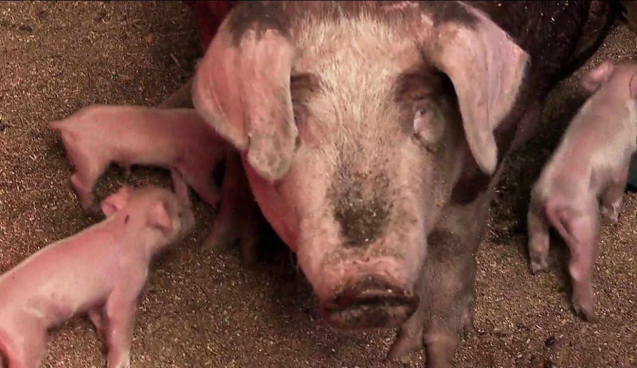 El calor afecta gravemente al parto de los cerdos. Te lo contamos