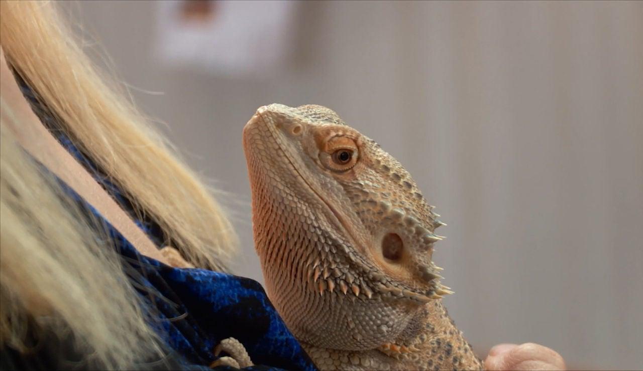 Un dragón barbudo enfermo