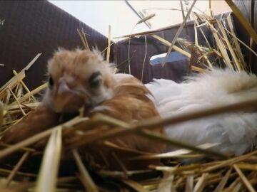¿Por qué se están muriendo estos pollitos?