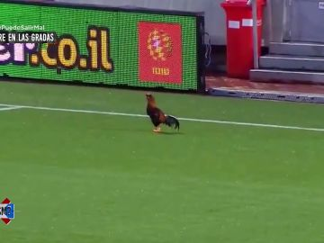 Un gallo con el ADN  de Cristiano Ronaldo