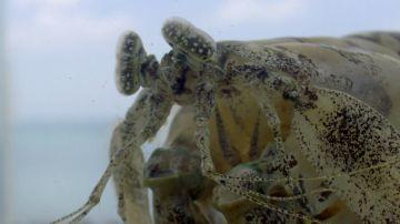 La gamba mantis, un ser peculiar de 'La gran barrera de coral'