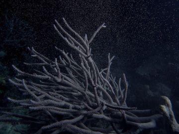 El desove, la forma de reproducción de 'La gran barrera de coral'