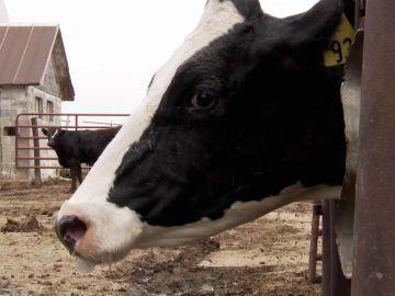 Las olas de calor provocan neumonías en las vacas