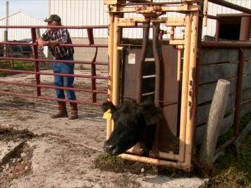 Esta vaca tiene un serio problema