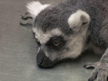 """""""No me gusta lo que estoy viendo"""": El Dr Pol recibe un lémur en muy mal estado"""